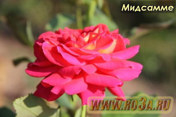 Роза Midsummer Мидсамме