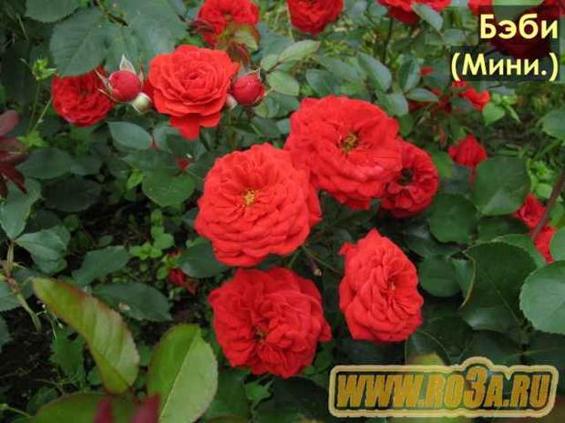 Роза Baby Baccara Бэби Баккара