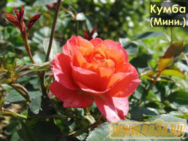 Роза Cumba Meillandina Кумба Мейландина