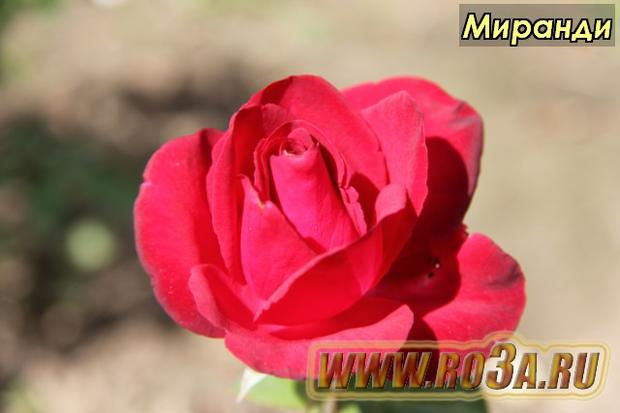 Роза Mirandi Миранди