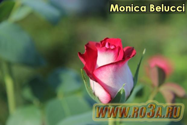Роза Monica Belucci Моника Белуччи