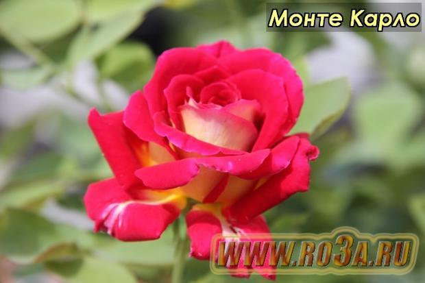 Роза Monte Carlo Монте Карло