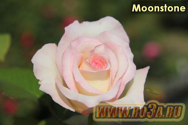 Роза Moonstone Мунстоун