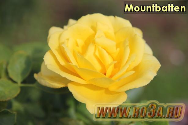 Роза Mountbatten Маунтбаттен (Полуплетистая)