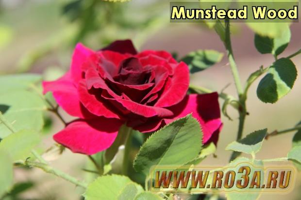 Роза Munstead Wood Манстед Вуд