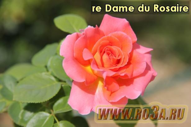 Роза re Dame du Rosaire Нотр Дам де Розар