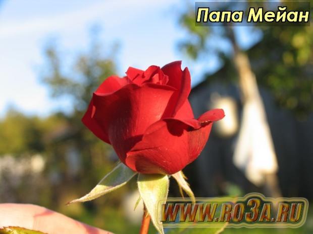 Роза Papa Meilland Папа Мейан