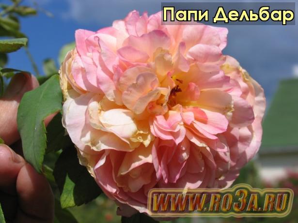 Роза Papi Delbard Папи Дельбар