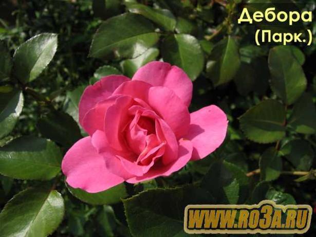 Роза Deborah Дебора