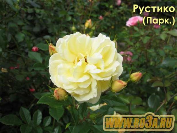 Роза Rustica 91 Рустика 91