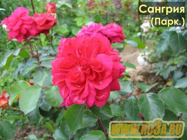 Роза Sangria Сангрия