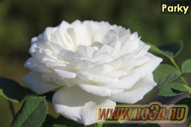 Роза Parky Парки