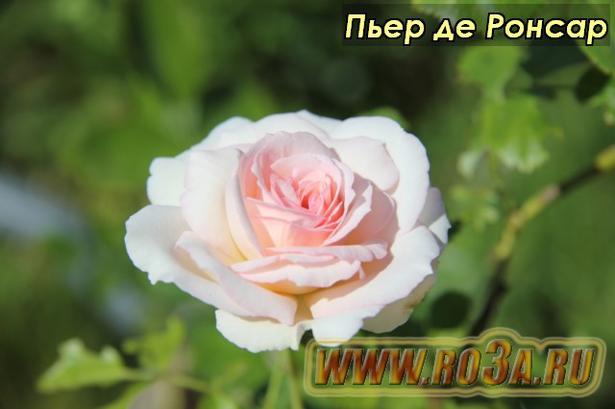 Роза Pierre de Ronsard Пьер де Ронсар