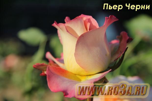 Роза Pierre Tchernia Пьер Черни