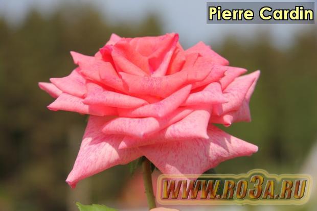 Роза Pierre Cardin Пьер Карден