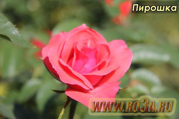 Роза Piroschka Пирошка