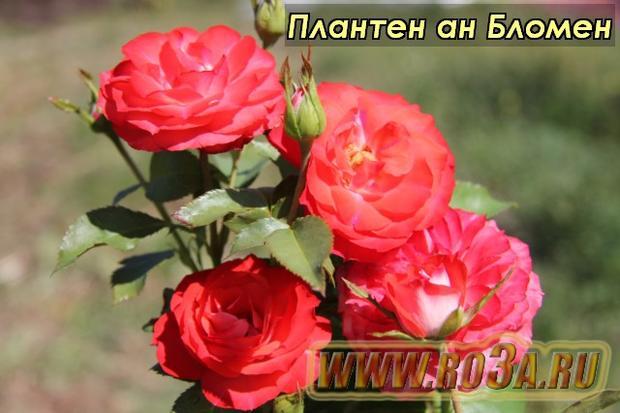 Роза Planten un Blomen Плантен ан Бломен