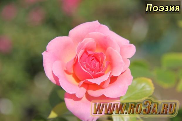 Роза Poesie – Jackson & Perkins Rose Poesie Поэзия