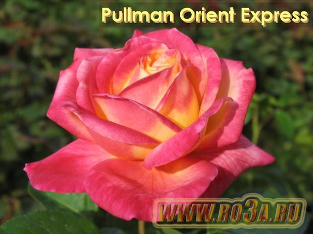 Роза Pullman Orient Express Пульман Ориент Экспресс Baipeace / Love and Peace</li>