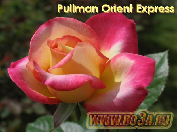 Роза Pullman Orient Express Пульман Ориент Экспресс