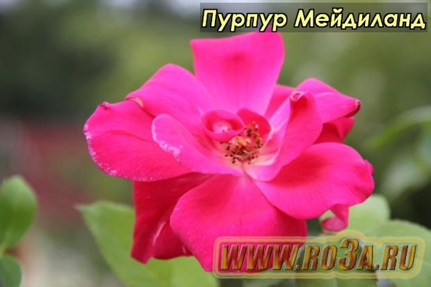 Роза Purple Meidiland Пурпур Мейдиланд