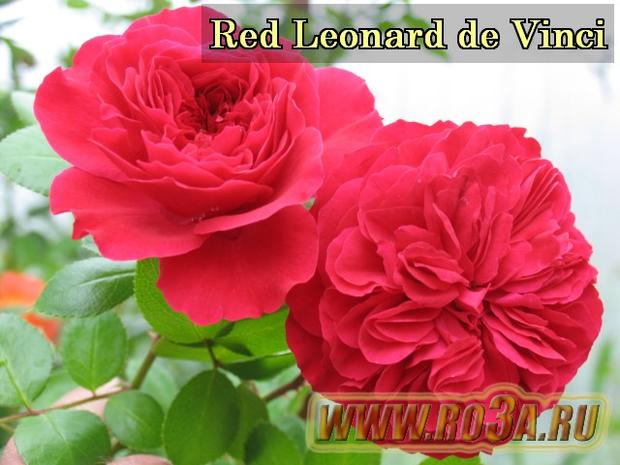 Роза Red Leonardo de Vinci Рэд Леонардо да Винчи