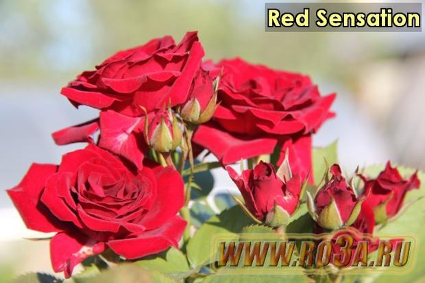 Роза Red Sensation Ред Сенсэйшн