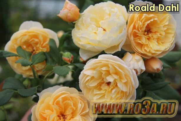 Роза Roald Dahl Роалд Даль