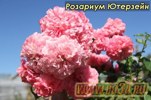 Роза Rosarium Uetersen Розариум Ютерзейн