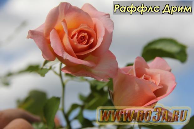Роза Ruffles Dream Раффлс Дрим