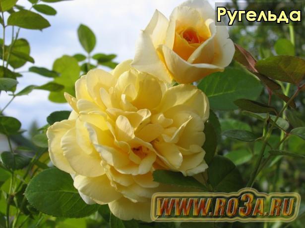 Роза Rugelda Ругельда (Парковая)