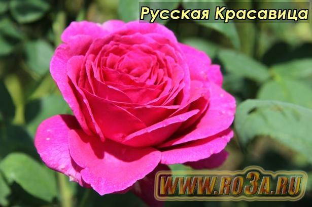 Роза Russkaya Krasavitsa Русская Красавица