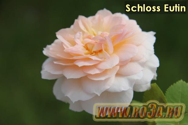 Роза Schloss Eutin Шлосс Ойтин
