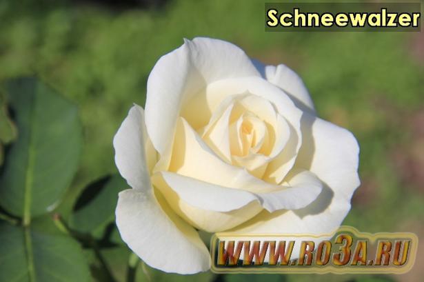 Роза Schneewalzer Шнеевальзер