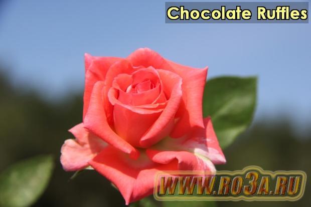 Роза Chocolate Ruffles Шоколад Раффлс