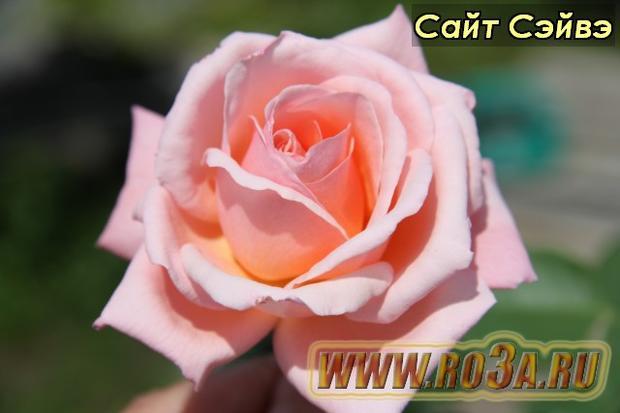 Роза Sight Saver Сайт Сэйвэ