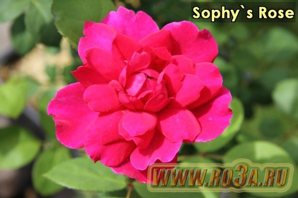 Роза Sophy′s Rose Софис Роз
