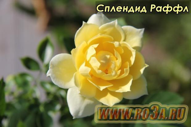 Роза Splendid Ruffle Сплендид Раффл