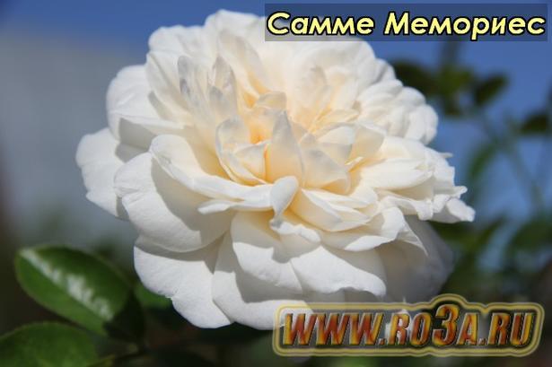 Роза Summer Memories Самме Мемориес