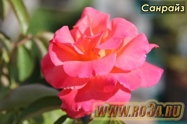Роза Sunrise Санрайз Freisinger Morgenrote, Frisimo, Morgenrote
