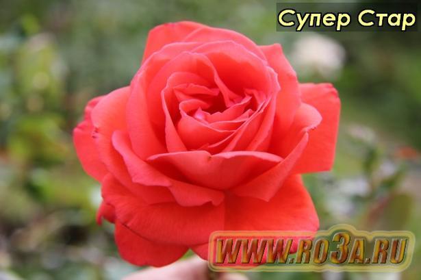 Роза Super Star Супер Стар