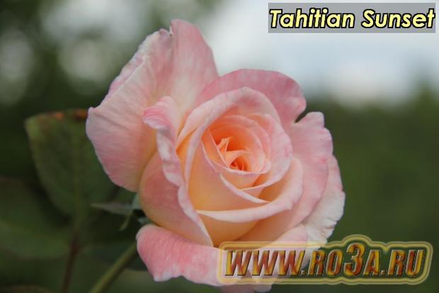 Роза Tahitian Sunset Таитиан Сансет