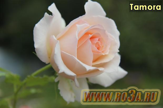 Роза Tamora Тамора