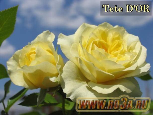 Роза Tete D′OR Тет Д′Ор