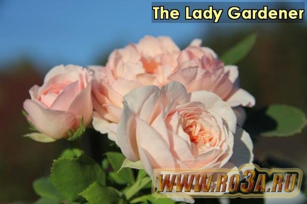 Роза The Lady Gardener Зе Лэди Гарднер