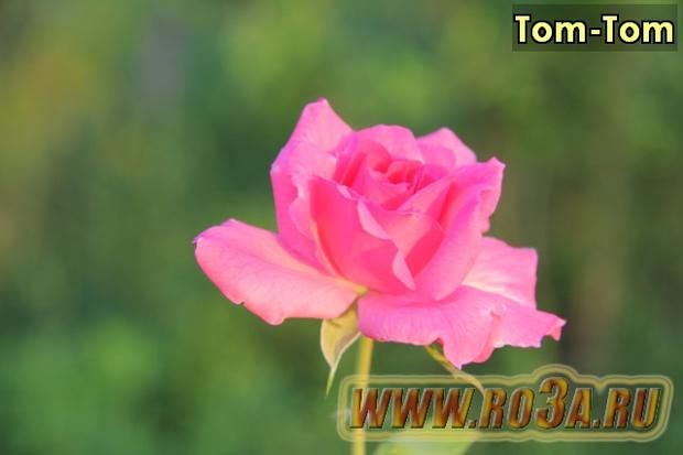 Роза Tom-Tom Том-Том