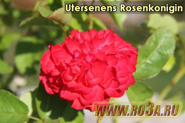 Роза Utersenens Rosenkonigin Ютерзейн Розенкониген