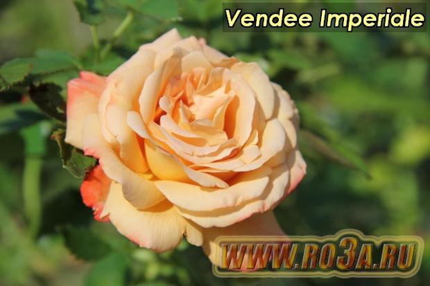 Роза Vendée Impériale Виндее Империал