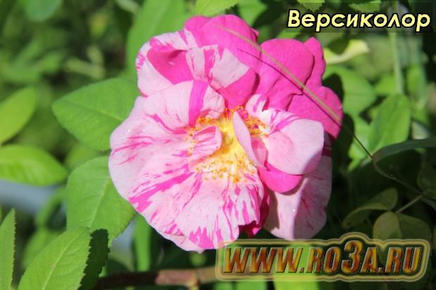 Роза Versicolor Версиколор