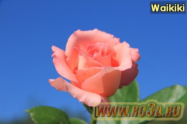 Роза Waikiki Вайкики